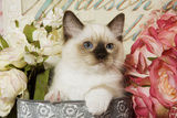 Ragdoll Seal Kitten Amongst Flowers Photographic Print