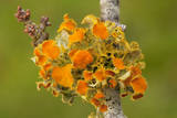 Goldeneye Lichen on Blackthorn Twig Photographic Print