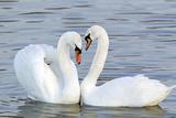 Mute Swan Courtship Display Papier Photo