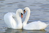 Mute Swan Courtship Display Photographic Print