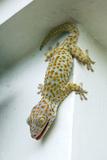 Tokay Gecko Photographic Print by Andrey Zvoznikov