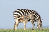 Plains Zebra Female with Foal Photographic Print