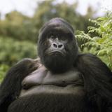 Mountain Gorilla Male Fotografisk tryk af Adrian Warren