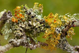 Lichens on Blackthorn Photographic Print