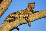 Leopard Lies on Tree Branch Photographic Print