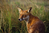 Red Fox Close-Up in Tall Grass Photographic Print