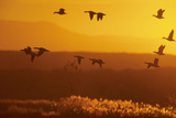 Snow Geese Dawn Flight Photographic Print