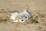 Grey Seal Pup on Beach Stretching its Flipper Photographic Print