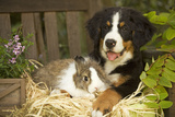 Bernese Mountain Dog Puppy Lying on Garden Bench Photographic Print