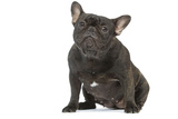 French Bulldog in Studio Photographic Print