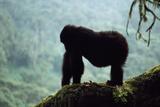 Mountain Gorilla Fotografisk tryk af Adrian Warren