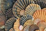 Scallop Shells Detailed Arrangement Fotografisk tryk