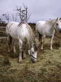 Highland Horses, Pair Photographic Print