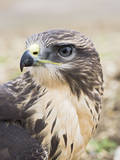 Common Buzzard Close Up of Head Reproduction photographique