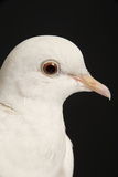 Rock Dove Reproduction photographique