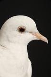 Rock Dove Photographic Print