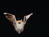 Lesser Long-Eared Bat in Flight Photographic Print