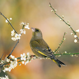 Greenfinch Perched in Blossom Tree Photographic Print