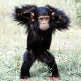 Chimpanzee Young, with Arms on Head Photographic Print