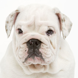English Bulldog in Studio Photographic Print