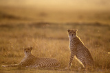 Cheetah Two Resting at Sunset Photographic Print
