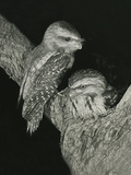 Tawny Frogmouths Pair at their Nest in a Jarrah Photographic Print