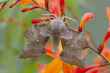 Poplar Hawkmoth on Crocosmia Flower Photographic Print