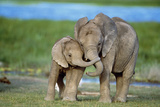 African Elephant Two Calves with Trunks Together Reproduction photographique