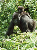 Mountain Gorilla with Baby on Back Fotografisk tryk af Adrian Warren