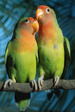 Peach-Faced Lovebirds Hybrid Photographic Print by Andrey Zvoznikov