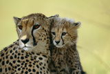 Cheetah, Close-Up of Mother and Cub Fotografisk tryk