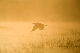 Grey Heron Flying over Water in Misty Sunrise Photographic Print