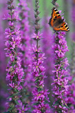 Small Tortoiseshell Butterfly Resting on Purple Photographic Print