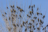 Yellow-Headed Blackbirds Flock Perched in Tree Photographie
