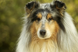 Rough Collie Dog Photographic Print