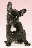 French Bulldog Puppy Photographic Print