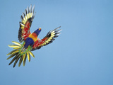 Rainbow Lorikeet in Flight Photographic Print