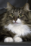 Norwegian Forest Silver Tabby Mackerel and White Photographic Print