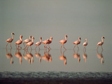 Lesser Flamingo Line of Eleven Photographic Print