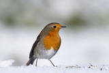Robin in Snow Photographic Print