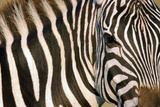 Plains Zebra Photographic Print