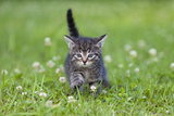 Kitten Walking across Lawn Photographic Print