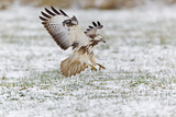 Common Buzzard in Flight About to Land on Snow Photographie