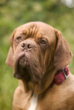 French Mastiff Dog Photographic Print