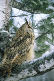 Eagle Owl Adult on Birch Tree in Forest of Ural Mountains Photographic Print by Andrey Zvoznikov