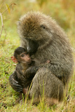 Olive Baboons Mother Feeding Baby Photographic Print