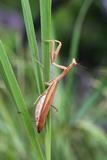Praying Mantis Hides in Long Grasses Photographic Print by Andrey Zvoznikov