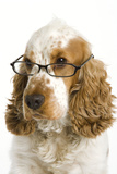 English Cocker Spaniel Wearing Glasses Photographic Print