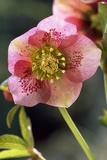 Hellebore Christmas Rose, Blossom, Niger Sp Fotografisk tryk