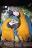 Blue and Yellow Macaws Photographic Print by Andrey Zvoznikov